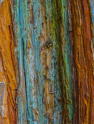 Fir Tree, Cambridge Botanic Garden