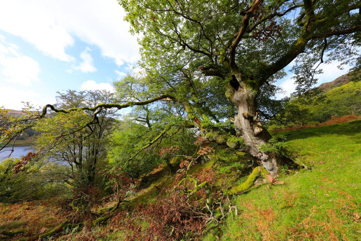 Old Oak Tree, Rydal