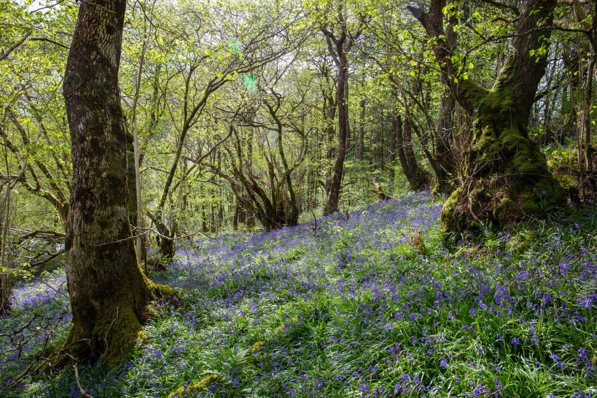 Bluebells, Glencoe